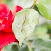 rote Rose mit Mücken