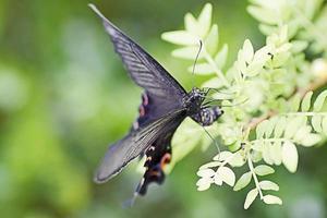 Papilio Bianor (japanischer Schwalbenschwanzschmetterling). foto