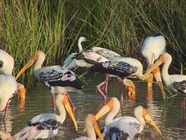 Herde bemalter Storche füttert intensiv foto
