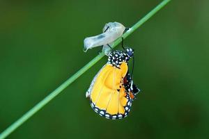 erstaunlicher Moment über Schmetterlingswechselform der Puppe foto