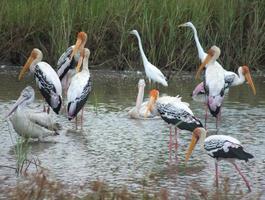 Herde bemalter Störche, Pelikane und Reiher, die sich intensiv ernähren foto