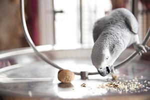 Graupapagei, der Walnuss isst foto