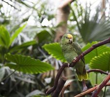 Amazonas Papagei foto