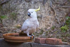Kakadu mit Schwefelhaube foto