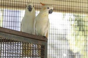 Kakadu mit Zitronenhaube