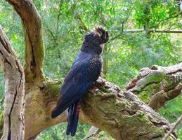 rotschwanziger schwarzer Kakadu foto
