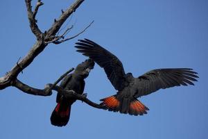 rotschwanzige schwarze Kakadus foto