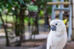 Kakadu-Vogel mit gelbem Haube foto