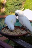 weißer Kakadu foto