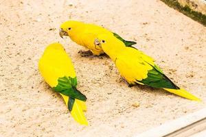 schöner Papagei, Sonne conure foto