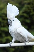 Kakadu-Papagei mit Schwefelhaube bewegt sich foto