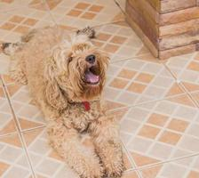 Der Hund in meinem Haus mit offenem Mund. foto