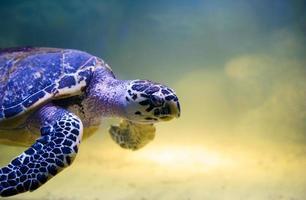 Schildkröte schwimmen foto