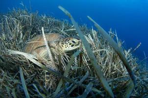 Meeresschildkröte foto