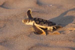 Flatback Meeresschildkröte