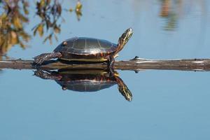 Midland gemalte Schildkröte
