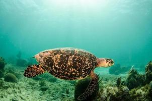 Karibische Meeresschildkröte foto
