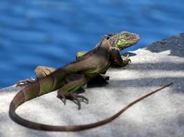 Sonnenbaden mit grünem Leguan (Leguanidae), Fort Lauderdale, Florida foto