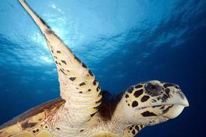 Hawkbill Meeresschildkröte / eretmochtelys imbricata foto