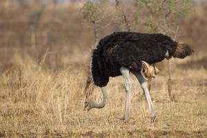 Strauß im Krüger-Nationalpark foto