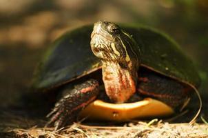 gemalte Schildkröte foto