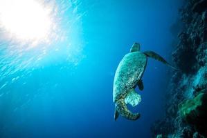 grüne Meeresschildkröte, die in Derawan, Kalimantan, Indonesien unter Wasser schwimmt foto