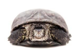 Europäische Teichschildkröte auf Weiß