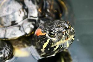 lächelnde Schildkröte