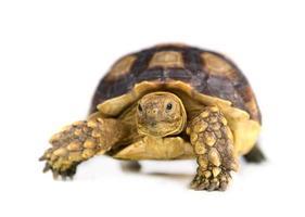 Schildkröte lokalisiert auf weißem Hintergrund foto