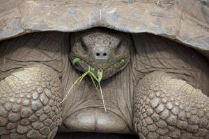 riesige Galapagos-Landschildkröte