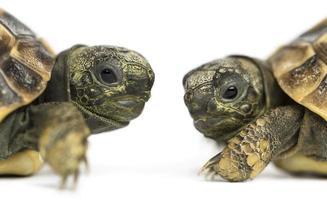 Nahaufnahme von zwei Baby Hermanns Schildkröte, die sich gegenüberstehen