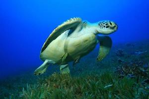 grüne Schildkröte foto