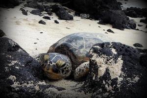 Schildkröte am Strand in Hawaii foto