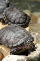 Schildkröten foto