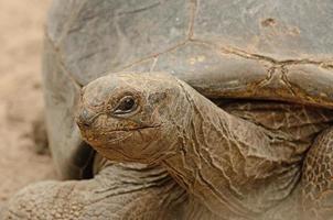 Riesenschildkröte foto