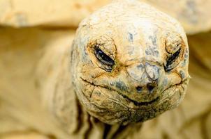 Aldabra Riesenschildkröte foto