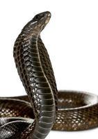 Nahaufnahme der ägyptischen Kobra, gegen weißen Hintergrund foto