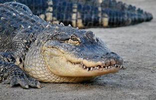 Auge auf den Preis - weibliche Alligatorin foto