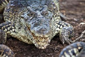 Krokodil, Alligator auf einem Ochsen foto