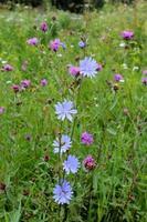blaue Blüten von Cichorium foto