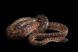 Hispaniolan Boa, Chilabothrus oder Epicrates Striatus foto