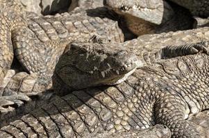 Massai Mara Krokodile