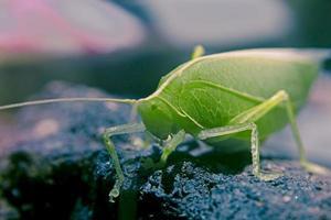 Tettigoniidae, Katydiden, Buschgrille foto