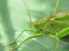 grüne Heuschrecke.