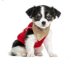 gekleideter Chihuahua-Welpe sitzt und schaut in die Kamera