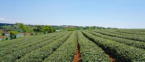 Teefarm im Hochland von Bao Loc