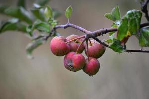 Bio-Apfelfrucht