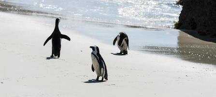 afrikanische Pinguine am Boulders Beach foto