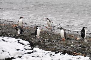 Gruppe von Pinguinen, die Spaß an Land haben