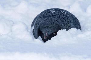 Adeliepinguin, der sich vor dem Wind im Schnee versteckte